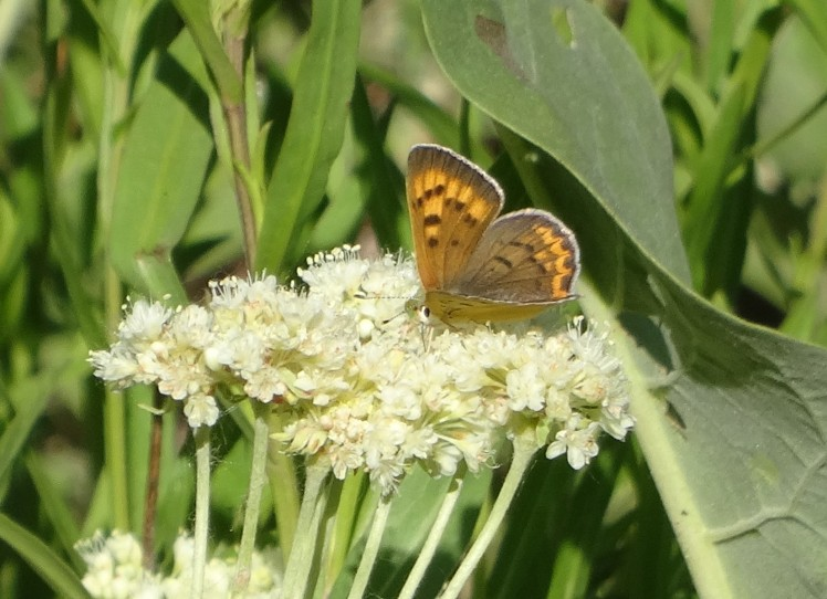 butterfly on milkweed 2