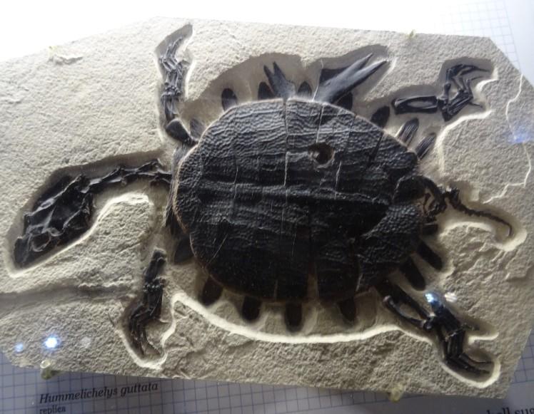 Hummelichelys guttata turtle fossil